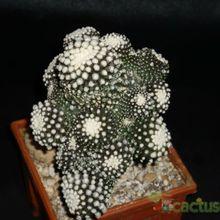 Copiapoa humilis ssp. tenuissima fma. monstruosa