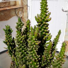 Austrocylindropuntia subulata f. monstruosa