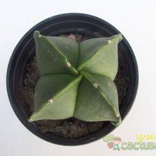Astrophytum myriostigma quadricostatum fma. nudum