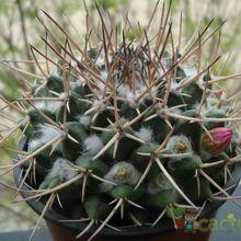 Mammillaria compressa ssp centralifera