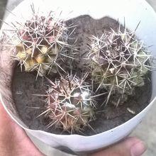 Mammillaria voburnensis ssp. voburnensis