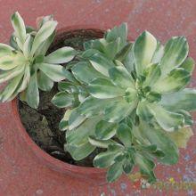 Aeonium castello-paivae fma. variegada