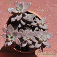 Graptosedum cv. Bronze (Graptopetalum paraguayense x Sedum stahlii) (Hibrido)