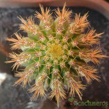 Echinopsis spachiana