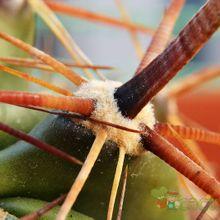 Ferocactus peninsulae var. townsendianus