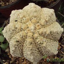 Astrophytum superkabuto multi-hybrid