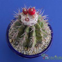 Melocactus andinus