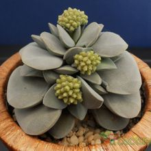 Crassula cv. Morgans Beauty
