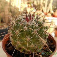 Thelocactus conothelos ssp. aurantiacus