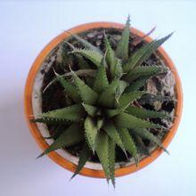 Haworthia angustifolia