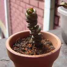 Crassula rupestris ssp. marnieriana