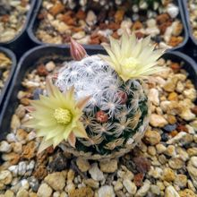 Mammillaria duwei