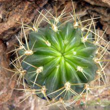 Echinopsis maximiliana