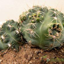 Gymnocalycium andreae