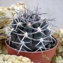 Gymnocalycium oenanthemum