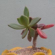 Pachyveria cv. dr cornelius