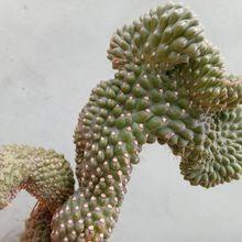 Cylindropuntia fulgida fma. crestada