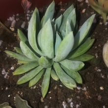 Graptoveria cv. fanfare