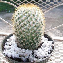 Mammillaria columbiana ssp. columbiana