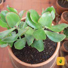 Crassula arborescens fma. undulatifolia