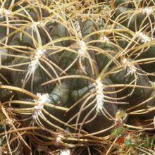 Sulcorebutia cardenasiana