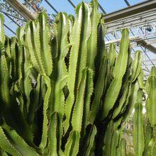 Euphorbia candelabrum