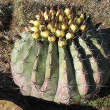 Ferocactus pottsi