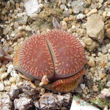 Lithops aucampiae ssp. euniceae var. euniceae