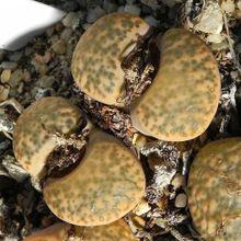 Lithops fulviceps var. fulviceps