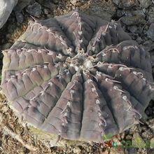 Gymnocalycium ochoterenae subsp. vatteri