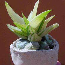 Alworthia cv. Black Gem (Haworthia cymbiformis x Aloe speciosa) fma. variegada