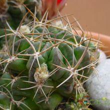 Echinopsis pentlandii