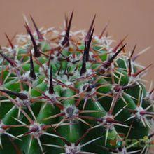 Echinopsis silvestrii