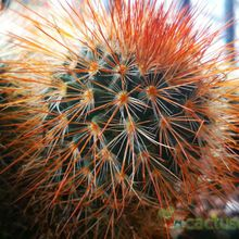 Mammillaria spinosissima cv. Super Red