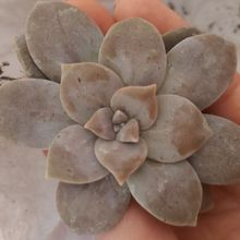 Graptopetalum superbum
