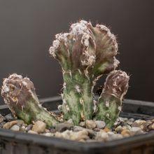 Cereus spegazzinii fma. crestada