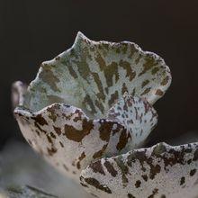 Kalanchoe rhombopilosa