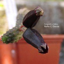 Echidnopsis squamulata