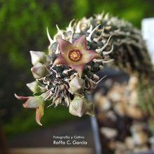 Echidnopsis planiflora