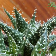 Aloe Pepe (Aloe Discoingsii x Aloe Haworthioides)
