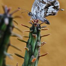 Euphorbia submamillaris