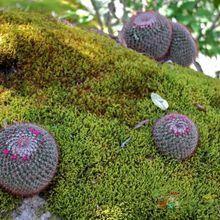 Mammillaria nunezii