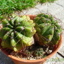 Parodia oxycostata ssp. gracilis