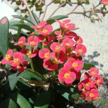 Euphorbia milii var. hislopii