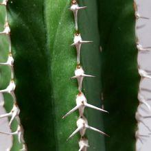 Euphorbia officinarum subsp. echinus