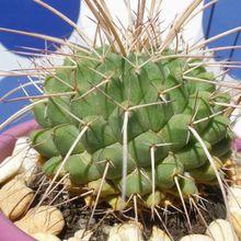 Mammillaria compressa ssp. compressa