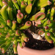 Crassula ovata cv. gollum