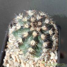 Echinocereus bristolii