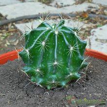 Thelocactus setispinus fma. brevispinus