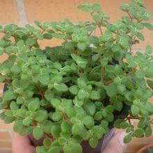 Crassula expansa ssp. fragilis